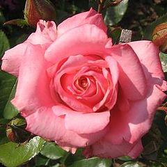"фото ""Good morning Rose"""
