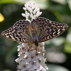 "photo ""butterfly on lisymachia"""