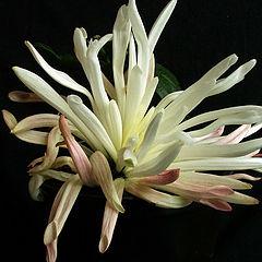 """photo """"Chrysanthemum"""""""