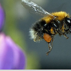 """photo """"The life of the bumblebee. With work - home."""""""