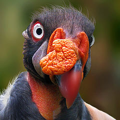 "photo ""King Vulture"""