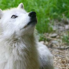 """photo """"Arctic Wolf"""""""