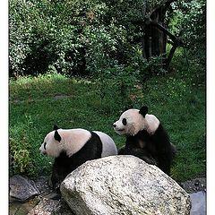 """фото """"Pandas"""""""