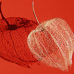 """photo """"Involucre in red"""""""