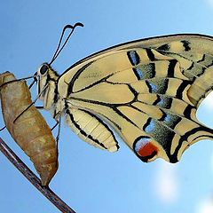 "фото ""Just emerged (Papilio machaon)"""