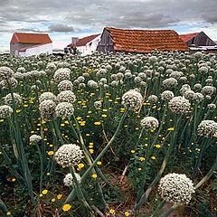"photo ""Onion flowers"""