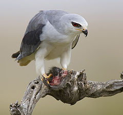 "photo ""Black-shouldered Kite - Elanus caeruleus"""
