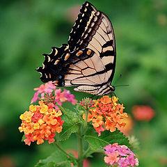 "фото ""Green Springs Butterfly 1"""