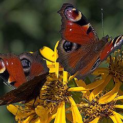 "фото ""Butterfly Couple"""