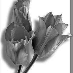 "фото ""Framed Tulips"""