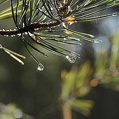 """photo """"Wood needles and droplets"""""""