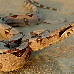 "photo ""Boa constrictor"""