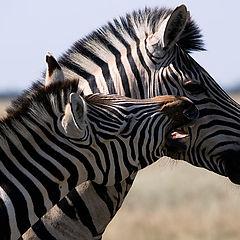 "photo ""Zebras"""