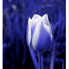"фото ""tulip (rosa maria)"""