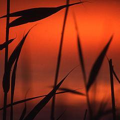 """photo """"Reeds"""""""