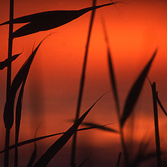 "фото ""Reeds"""