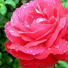 """photo """"Pretty rose))"""""""
