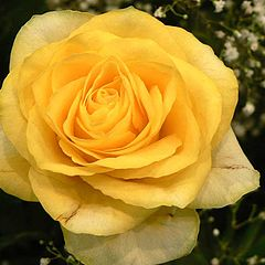"photo ""Yellow rose"""