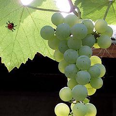 "photo ""Grapes"""