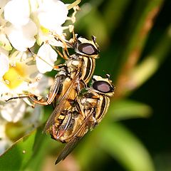 """фото """"Unidentified Insects on late blooming Prunus lauro"""""""