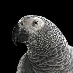 """photo """"Portrait of a grey parrot"""""""