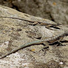 "photo ""Lizards"""