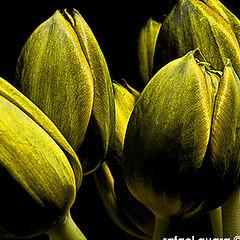 "фото ""tulipd"""