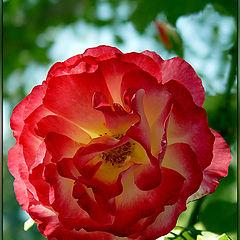 """photo """"Garden Rose"""""""
