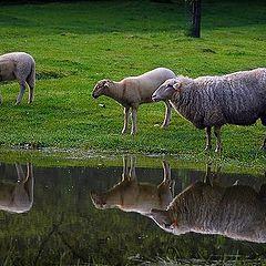 """фото """"3 sheeps"""""""