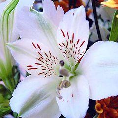 "фото ""Lilium Species"""