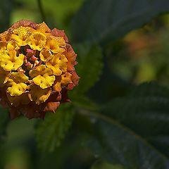 "фото ""Ballflower"""
