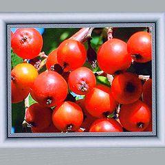 "фото """"Rowan Berries"""""