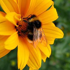 "фото ""Я пчёлка-пчёлка-пчёлка....."""