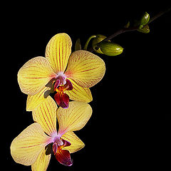"фото ""Orchid"""