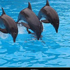 "фото ""dolphins (A. Girao)"""