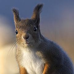 "фото ""Portrait of a Squirrel"""