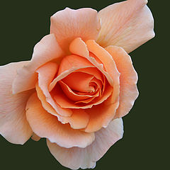 """photo """"Just a Rose"""""""