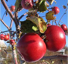 """фото """"Зимние яблоки"""""""