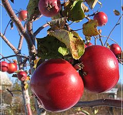 "photo ""Winter apples"""