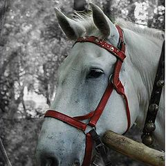 "photo ""Portrait of a horse"""