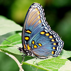 "фото ""Red-spotted purple butterfly"""