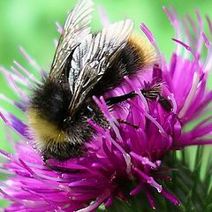 "photo ""thistle with bumblebee"""