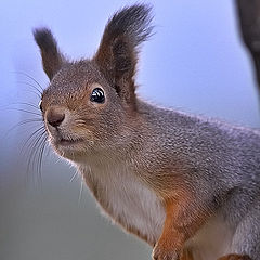 "фото ""Cloudy day squirrel"""