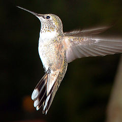 """фото """"Busy Wings"""""""