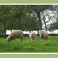 "photo ""Some sheep"""
