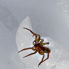 "фото ""Spider Living in the Snow"""