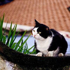 "photo ""Tom the Cat"""