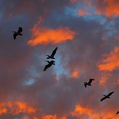 """фото """"Полет пеликанов"""""""
