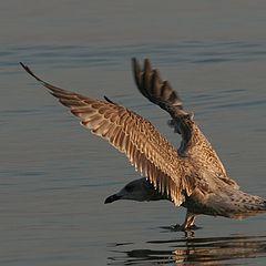 """фото """"Seagull"""""""