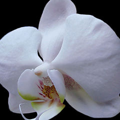 "photo ""White orchid"""